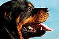 Rottweiler portrait.jpg