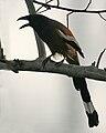 Roufous Treepie (Dendrocitta vagabunda) calling in Kolkata W IMG 4320.jpg