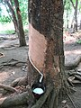 Rubber Tree Taping (42284428705).jpg