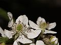 Rubus fruticosus by Danny S. - 001.jpg