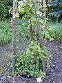 Rubus schnedleri - Botanischer Garten, Frankfurt am Main - DSC02496.JPG