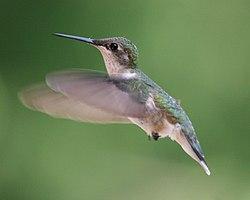 ... et une femelle, en vol, dans le Wisconsin