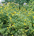 Rudbeckia laciniata HabitusInflorescences BotGardBln0906a.jpg