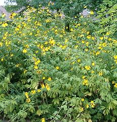 Rubekia strapatá (Rudbeckia laciniata)