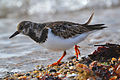 Ruddy Turnstone (Arenaria interpres) (16148464459).jpg