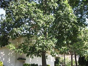Rudraksha - Rudraksha tree, Elaeocarpus ganitreus