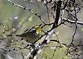 Rufous-capped Warbler (33175816254).jpg