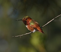 Rufous Hummingbird Perched by B Garrett.jpg