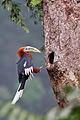 Rufous Necked Hornbill 2.jpg