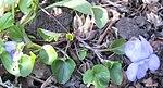 Ruhland, Grenzstr. 3, Hain-Veilchen im Garten, blühende Pflanze, Frühling, 01.jpg