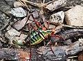 Säbelschrecke (Barbitistes) Forchetwald.jpg