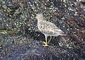 SURFBIRD (3-24-09) northpoint -04 (3383236501).jpg