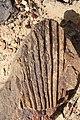 Sabalites fossil palm leaf by Nick Longrich.jpg