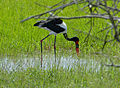 Saddle-billed Stork (Ephippiorhynchus senegalensis) female (12750426723).jpg
