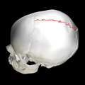 Sagittal suture - skull - lateral view03.png