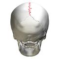 Sagittal suture - skull - posterior view02.png