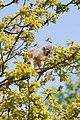 Saimiri sciureus -Amazona Zoo, Cromer, Norfolk, England-8a.jpg