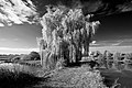 Salix alba 4 seasons Autum HaJN7271 bw.jpg