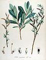 Salix purpurea — Flora Batava — Volume v14.jpg