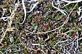 Salix rotundifolia-MW0158298-live-1.jpg