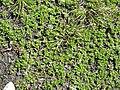 Salix serpyllifolia01.jpg