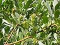 Salix wolfii (5027083227).jpg