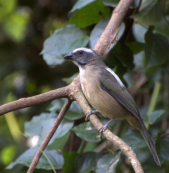 Ficheiro:Saltator similis.jpg