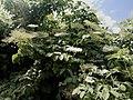 Sambucus nigra 138067266.jpg