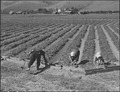 San Jose, California. Farm family in their strawberry field prior to evacuation. Their home can be . . . - NARA - 537660.tif