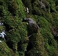Scaly-breasted Wren Babbler I IMG 6870.jpg