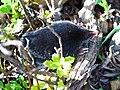 Scapanus latimanus2.jpg