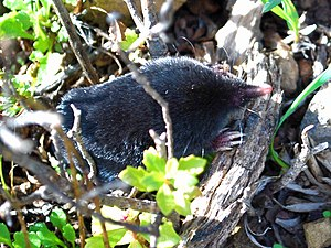 Mole (animal) - Broad-footed mole