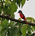 Scarlet Minivet (Pericrocotus speciosus) at Jayanti, Duars, West Bengal W Picture 395.jpg