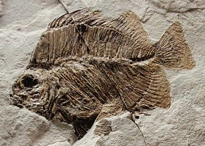 Scatophagidae - Scatophagus frontalis fossil