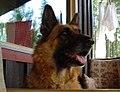 Schaeferhund (4).jpg