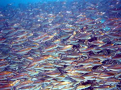 Photo of thousands of fish separated from each other by distances of 2 inch or less