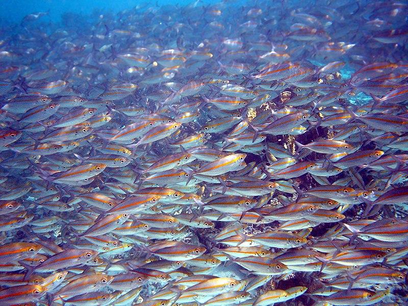 File:School of Pterocaesio chrysozona in Papua New Guinea 1.jpg