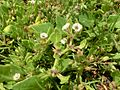 Sclerophylax spinescens Tenerife 1.jpg