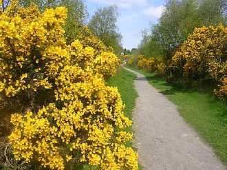 Scotstown Moor - Looking through the gorse bushes that line some of the paths