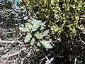 Scrub oak with mistletoe.jpg