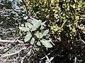 Scrub oak with mistletoe.jpg