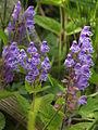 Scutellaria タツナミソウ やしろの森公園DSCF8687.JPG