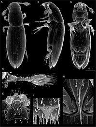 Scydosella musawasensis