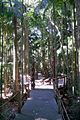 Sea Acres Bangalow Palm.JPG