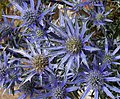 Sea Holly (4779927289).jpg