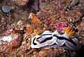Sea Slug Chromodoris dianae (7944355974).jpg