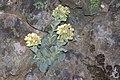 Sedum paradisum Shirtale Peak 006 (8345875387).jpg