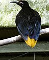 Seleucidis melanoleucus -Jurong Bird Park -male-8a.jpg