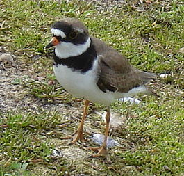 Semipalmated Plover Breeding Plumagein Churchill Canada.jpg