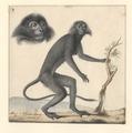 Semnopithecus - 1788-1863 - Print - Iconographia Zoologica - Special Collections University of Amsterdam - UBA01 IZA1000500.tif